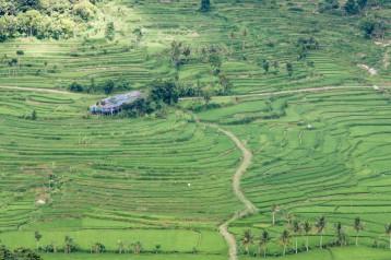 Pemandangan sawah yang hijau dan menyejukkan mata