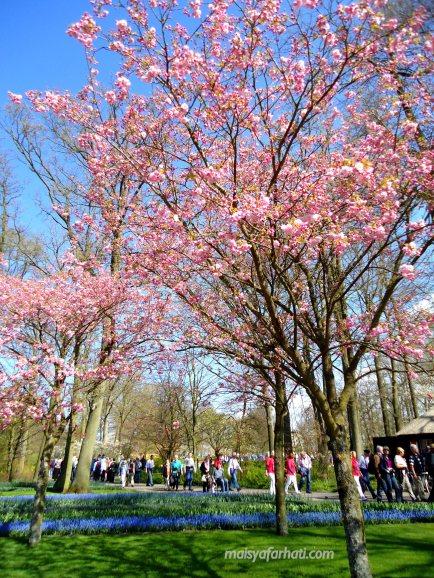 Pohon ceri pun berbunga